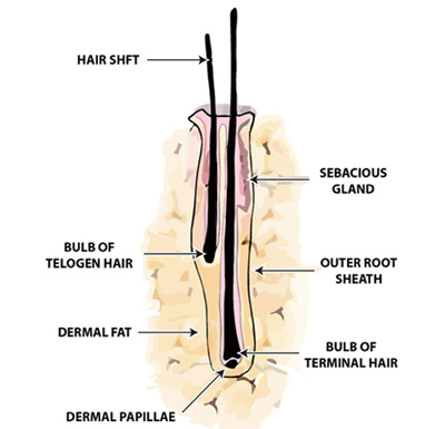 A labeled diagram of a hair follicle for the hair restoration procedures at DiStefano Hair Restoration Center in Worcester, MA